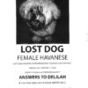 female havanese lost dog copy